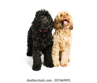 Cockerpoo on a white background