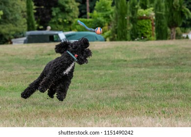 cockerpoo playing with a ball