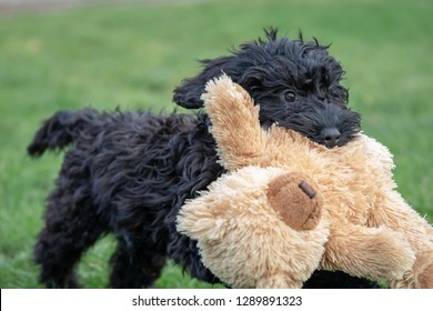 Cockerpoo plays with teddy