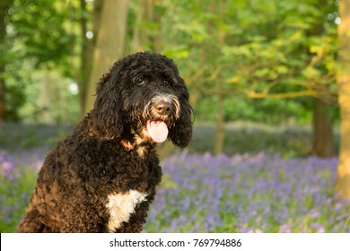 Cockerpoo posing on a log in a bluebell wood