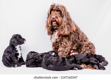 cockerpoo puppies with mom