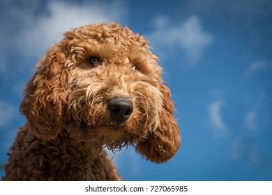 Cockerpoo Puppy Face
