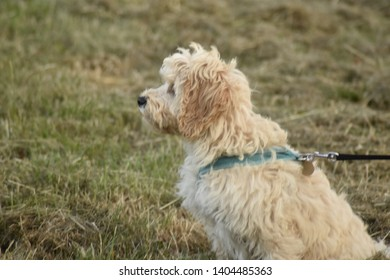 a Cockerpoo Puppy on a lead in a park.