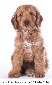 cockerpoo puppy portrait on white background