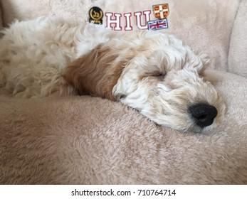 Cockerpoo puppy sleeping in bed