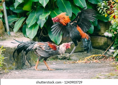 A cockfight is a blood sport between two cocks