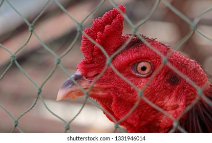 A cockfight in a cage.