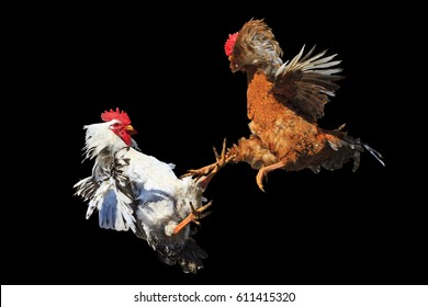 Cockfight isolated on black