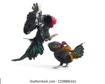 cockfight isolated on white background