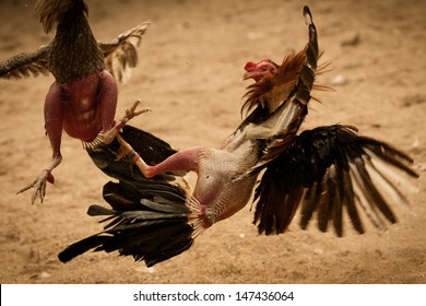 Cockfight in Vinales Cuba. Popular sport and tradition.