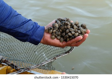 The cockle farmers are successful in raising semi-natural cockles. Cockle in the pond generates income from a combination of farming methods for natural development.