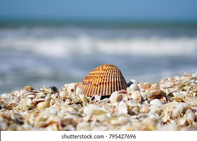 A cockle shell on top of shells on the beach by the sea in Sanibel, Florida