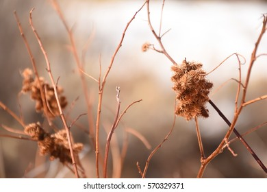 xanthium Images, Stock Photos & Vectors | Shutterstock