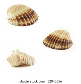 Cockle-shell from sea on white background. Nature texture.