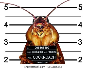 Cockroach arrested by Pest Control Department. Arrested cockroache posing for front view. He holds placard. Height chart in the background. Isolated on a white background