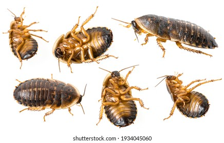 cockroach - Blaptica dubia collection on white background