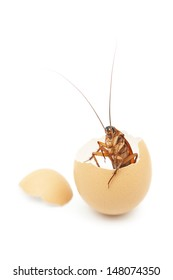 Cockroach was born from egg ,cockroach egg hatch