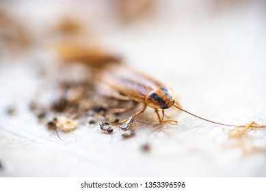 Cockroach crawling to the bait. Remedy for parasites. Trap for cockroaches.