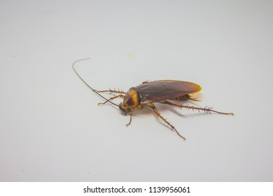 cockroach dead on a white background