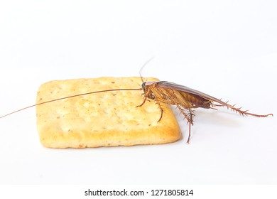 Cockroach  eating biscuit with isolated background