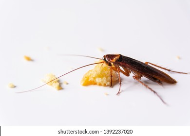 Cockroach eating whole wheat bread. Cockroach on the whole wheat bread on white background.