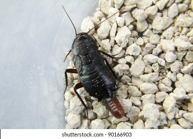 cockroach with eggs about to leave