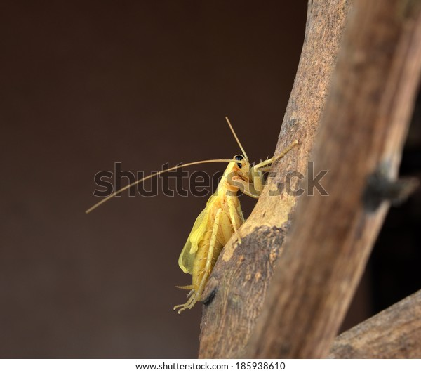 Cockroach isolated on brown background