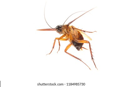Cockroach isolated on white background. Cockroaches are flying insects and cockroaches are also carriers of human pathogens.