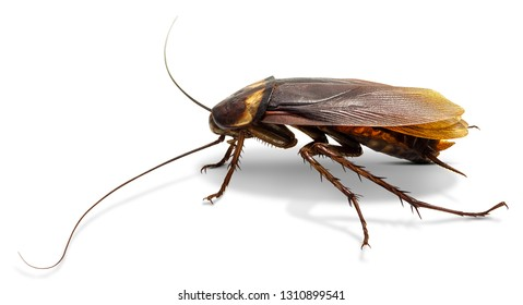 Cockroach isolated on white background with clipping path