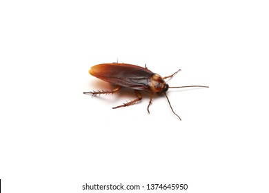 cockroach isolated on white background , close-up