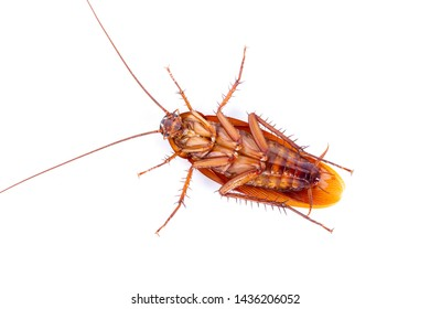 The cockroach isolated on the white background.