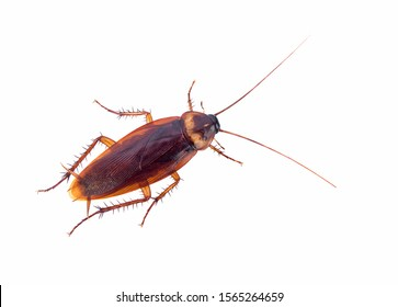 cockroach isolated on white background (top view)