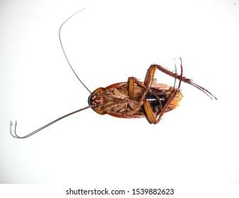 Cockroach lay on floor cockroach eggs