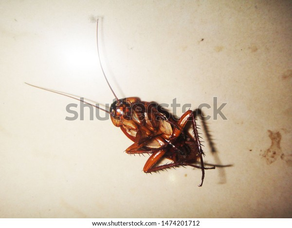 cockroach-on-dirty-white-background-600w