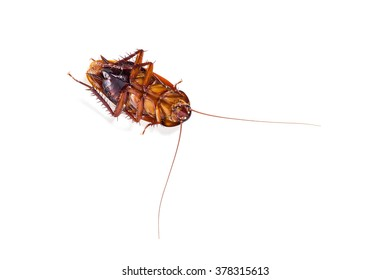 A cockroach sleep with turning face up , on white background