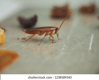 A cockroach stuck to the sticky paper. Domestic insect. Close up.