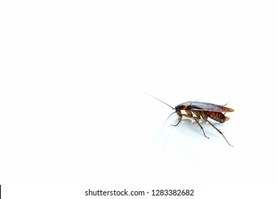 Cockroaches carry diseases to human. Isolated on the white background.Chemical treatment and protection against termite, cockroach, flea, agricultural pests.Pest control concept.