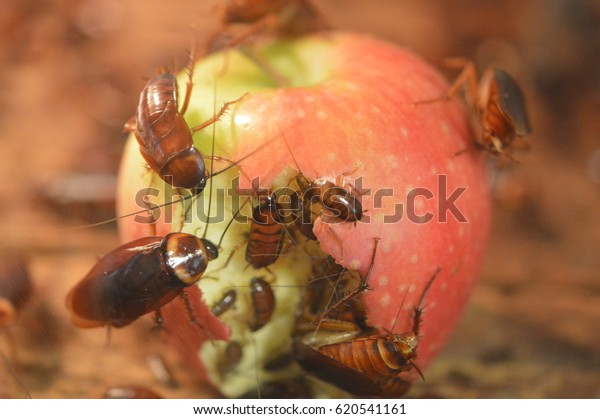 Cockroaches Eating an Apple