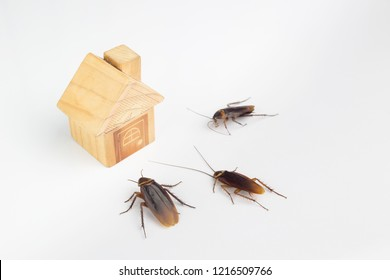 Cockroaches and house models on a white background.The concept of home invasive pest control and cockroach protection. Cockroaches carry the disease to humans.