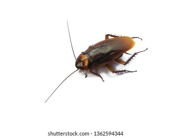 Cockroaches isolated on white background.  Cockroaches in dirty places. Disgusting animals.