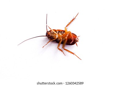 Cockroaches lie dead with Insecticide. Isolated on white background. Animals with germs and dirt.