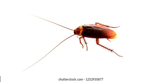 Cockroaches on a white background.