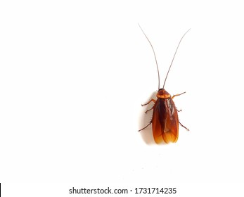 Cockroaches are on a white background, the body is fatter and has a bright reddish-brown color, wearing many legs.