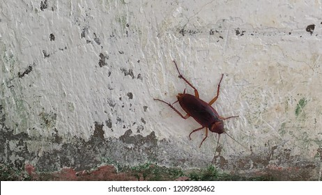 Cockroaches or Roaches on old white wall background, it's like to live in the damp and dirty, which is contagious, germ, pathogen, infectious disease to people.