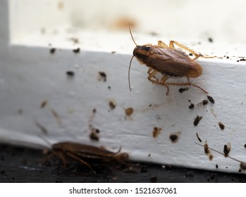 A lot of cockroaches are sitting on a white wooden shelf.The German cockroach (Blattella germanica). Cockroach Infestation