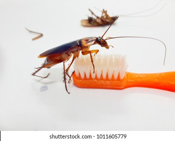 Cockroaches are in the toothbrush and there are cockroaches lying dead beside them.