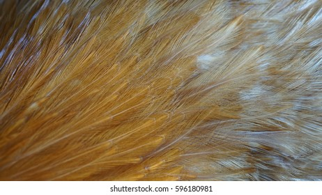 Cock's golden feather texture