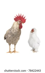 cocks on a white background
