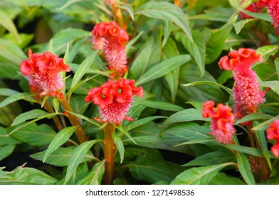 Cockscomb celosia or cockscomb red flowers with green