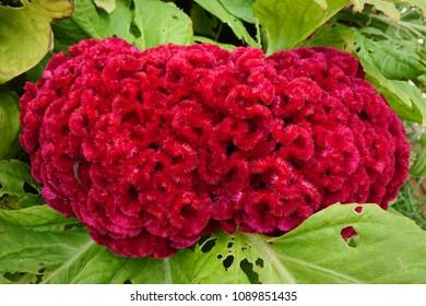 Cockscomb, Chinese Wool Flower, Celosia argentea L. var. cristata (L.) Kuntze